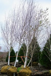 And here is a beautiful selection of whitebarked Himalayan birch trees, Betula utilis 'Jacquemontii'. Betula utilis is native to the Himalayas where it was discovered by Joseph Hooker in 1849. It is a medium sized tree that typically grows to 40-feet tall with an open pyramidal habit. Ovate, double-serrate, yellow-green to green leaves turn golden in fall - a very pretty tree.