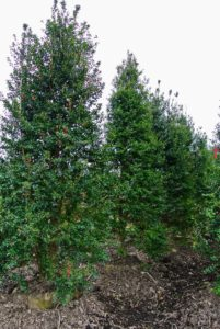 These are holly trees, Ilex X 'Dragon Lady' - a female cultivar that grows as an upright, symmetrical, very narrow pyramid, eventually maturing to 20-feet tall and to six-feet wide. This evergreen has dark green leaves and scarlet fruits that mature in fall and remain on the plant through winter.