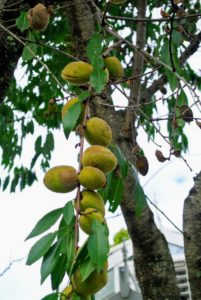 The leaves of the almond tree are long - about three to five inches. The almond fruit is leathery, and usually referred to as the hull or husk of the seed.