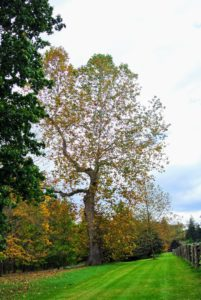 This is one of my great sycamore trees - the symbol of my farm. There are still many more leaves to fall, but leaf blowing is a big chore this time of year and it is in full swing.