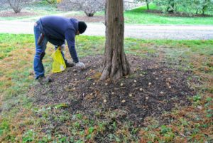 About 50-bulbs are planted in the tree pits under my great bald cypress trees.