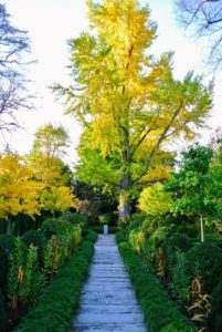 In autumn, ginkgo tree leaves turn a gorgeous yellow.