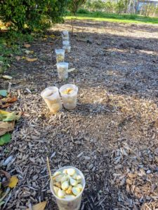 All the containers filled with garlic are brought outside - each one with a garden marker listing its garlic variety.