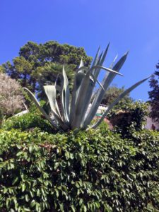 And here's another agave. I am a big fan of agaves, and as many of you know, I love to display them in my courtyard during summer.