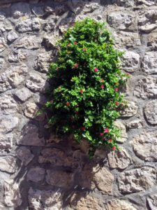 Here is a planter built into the wall. The specimen is an aptenia succulent. Aptenia is a small genus of flowering plants in the family Aizoaceae. They are native to southern Africa.