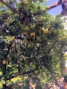 Look at all the lemons growing under this arbor.