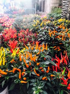 These are ornamental chili plants. Striking when in full fruit, ornamental pepper, Capsicum annuum, is a shrubby plant bred for ornamental use. These plants hold their peppers in an upright position above the foliage.