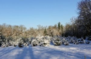 This is the Christmas tree field across from my compost piles. I planted a total of 640 Christmas trees in this field – White Pine, Frasier Fir, Canaan Fir, Norway Spruce, and Blue Spruce.