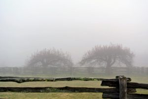 The ancient apple trees in the middle of the paddock are encircled by the thick fog.