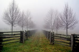 Here is a view from midway down the allee. The fog drifts over and between the horse paddocks and this allee of trees.