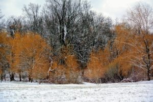 Here is one grove of weeping willows on the edge of my lower hayfield. The golden hue looks so pretty against the snowy landscape.