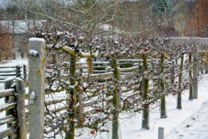 The Gravenstein apple espalier is also decorated with fluffy snow. 'Gravenstein' apples are great dessert and culinary fruits. They are just some of the thousands of apples we pick at the farm every year.