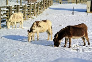 Nearby, Clive, Billie and Rufus, my trio of Sicilian donkeys, are also enjoying the cold day in their paddock.
