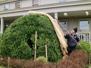 Here is Chhewang placing the burlap cover over another giant boxwood.