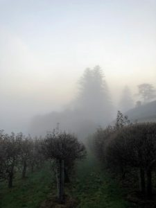 When I awoke Monday morning, the atmosphere was thick with fog. This is a photo of my apple espalier taken from my lower terrace parterre outside my Winter House kitchen.