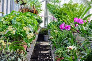My large orchid collection takes up space on two long tables in the greenhouse. Most orchid genera are epiphytic, meaning they grow on trees and rocks rather than in soil. Orchid roots need to breathe and therefore cannot live buried in dirt.