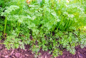 We also grow parsley, chervil and cutting celery. Here is our patch of parsley. Parsley, known for its use as a garnish, has many nutrients.