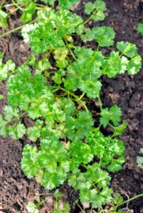 The nutrients include vitamins A, K, C, and E, thiamin, riboflavin, niacin, vitamin B6, vitamin B12, calcium, iron, magnesium, potassium, zinc, and copper. The parsley looks so beautiful and lush green from above.