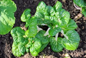 Bok choy is winter-hardy, and continues to grow in popularity.
