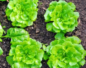 It's a real treat to have lettuce like this all year long. This leafy lettuce has excellent flavor and texture.