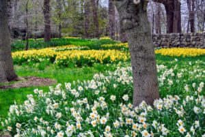 Along one side of my farm, I created a massive daffodil border.
