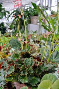 This is Begonia 'Othello' – It has medium-small tightly spiraled leaves of dark olive green.
