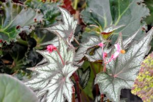 Most rhizomatous begonias are grown for their interesting leaves – there are so many great shapes, sizes and colors.