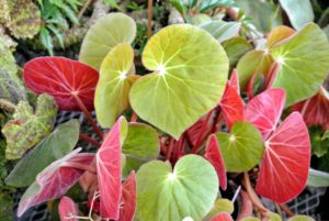 This is Begonia acetosa, also known as 'Ruby Begonia'. It has velvet cupped leaves with bright red undersides. It tolerates much lower humidity than most.