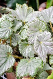 Begonias are remarkably resistant to pests primarily because their leaves are rich in oxalic acid - a natural insect repellent.