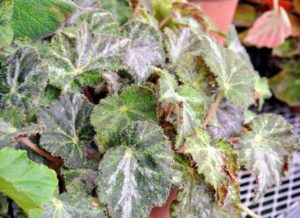 Begonia 'Royal Lustre' has small silvery green leaves with tones of pink and green. Upon close inspection, you can see the small hairs that line the leaf margins.