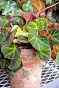 "To successfully grow rhizomatous begonias, use clay pots and only repot one size up when the roots have filled their current vessel. This is Begonia 'soli-mutata'. It is a compact medium-sized species from Brazil. The heart-shaped leaf colors vary depending on its exposure to bright light, which is why its common name is ""Sun tan"" Begonia."