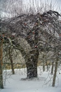 Across from the Basket house is this old apple tree - standing strong with its natural wooden crutches. There are still several apples holding onto its branches.