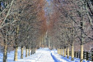 As many of you know, I have planted a few different allees at the farm. This is the original allee of linden trees. An allee is a walk or passage, especially one between two rows of evenly planted trees.