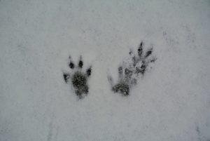 And a closeup of some squirrel footprints.