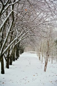 This is the stand of quince trees that line one side of the blueberry patch near my cutting garden - such a pretty row of trees on this wintry day.