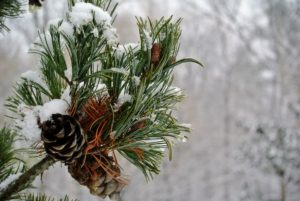And here is another - this branch with pinecones - it does not collect as much snow.