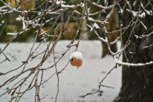 Here is one apple still hanging onto the branch of this old tree in front of the Blog Studio.