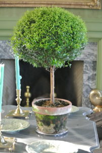 I also love decorating with topiaries - Myrtus communis 'Compacta' is a dwarf myrtle native to the Mediterranean region of southern Europe.