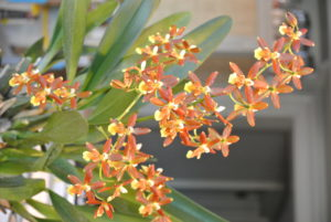 Oncidiums are magnificent in bloom. A large, well-grown plant will have several branched sprays of colorful flowers.
