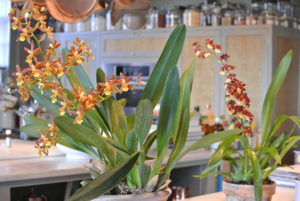 Oncidium orchids are popular indoor orchids because of their large sprays of flowers. On the right is Oncostele Hilo 'Firecracker'. Oncostele should be kept in medium to bright light. It also prefers warmer conditions – ideally, temperatures between 80 and 85 degrees Fahrenheit during the day.