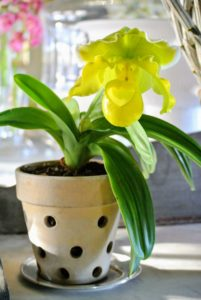Here's a bright yellow Lady's slipper sitting in my servery.