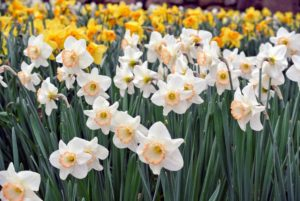 I plant a large variety of daffodils here - big and small. There is even a daffodil named after me - Narcissus 'Martha Stewart'.