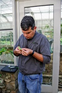 Jeremy is extremely thorough - he looked at many leaves up close for anything that may harm these specimens. Citrus plants are susceptible to various insects such as aphids and whiteflies.