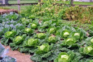 I just love how our cabbages looked - we had a very good growing season last year.