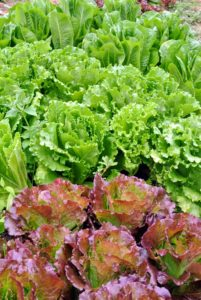Lettuce crops are susceptible to aphids, loppers, certain beetles and worms - thankfully, Jeremy did not find any.