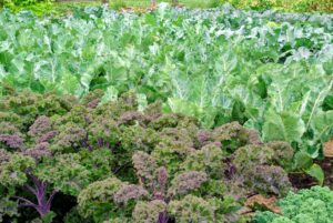 This was the kale - another good grower down here in the garden.
