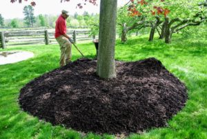 In spring, mulch or wood chips are used around all the tree pits. Depending on the size of the tree, tree pits can be three to six feet in diameter or even larger for very old, very large trunked specimens.