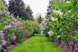 Down past the chicken coops, I keep an allee of lilacs - beautiful smelling flowers. In the book, I talk about how fragrant it is to walk through this garden when all these lilacs are ready to be cut.