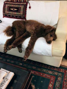 This is Khooshe's standard poodle relaxing on the couch.