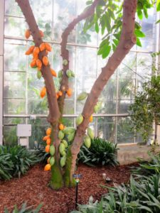 This is a chocolate tree located in the Conservatory's Garden Court. Theobroma cacao, also called the cacao tree and the cocoa tree, is a small evergreen tree in the family Malvaceae, native to the deep tropical regions of Central and South America. Its seeds, cocoa beans, are used to make cocoa mass, cocoa powder, confectionery, ganache and chocolate.